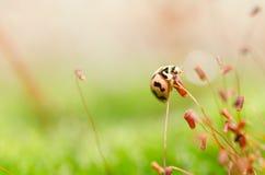 Marienkäfer in der grünen Natur Lizenzfreies Stockfoto