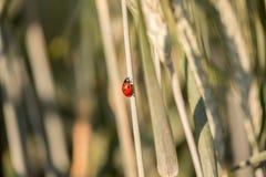Marienkäfer, der oben einen Grasstiel klettert Stockbild