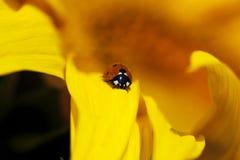 Marienkäfer in der Sonnenblume Stockfotos
