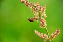 Marienkäfer, der von einer Feldblume hängt Lizenzfreie Stockbilder