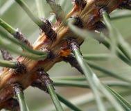 Marienkäfer-Eier auf einer Kiefer Stockbilder