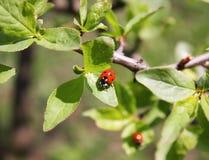 Marienkäfer an einem Tag des Baumblattes im Sonnenlicht Lizenzfreies Stockbild