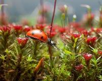 Marienkäfer erhalten über Blütenmoos, Schritt zwei Stockfotografie