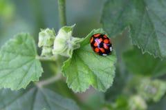Marienkäfer mit schwarzen Flecken auf grünem Sommerblatt stockbild