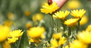 Marienkäfer puted von einem Finger zu einer Gänseblümchenblume stock video footage