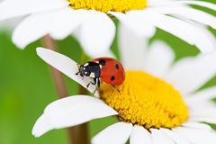 Marienkäfer sitzt auf einer Kamillenblume einen Abschluss herauf Makro stockbilder