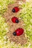 Marienkäfer-Tomaten Stockfotografie