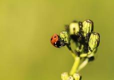 Marienkäfer und Ameisen Stockfoto