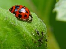 Marienkäfer und Blattläuse auf einem Blatt lizenzfreies stockbild