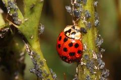 Marienkäfer und Blattläuse, wie man Garten- und Gewächshausplagen mit Damenkäfern in den organischen Methoden loswird Lizenzfreies Stockfoto
