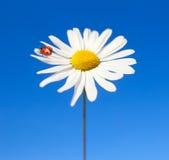 Marienkäfer- und Gänseblümchenblume Stockbild