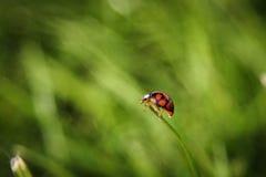 Marienkäferaufstieg auf dem Gras Lizenzfreies Stockbild