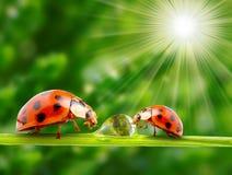Marienkäferfamilie auf einem dewy Gras. Lizenzfreies Stockfoto