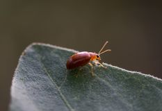 Marienkäferkäfer auf einem grünen Blatt mit nettem Hintergrund Lizenzfreie Stockfotografie