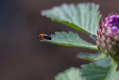 Marienkäferkäfer auf einem grünen Blatt mit purpurroter Blume Stockbilder