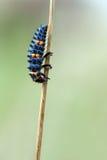 Marienkäferlarve stockfotos