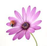 Marienkäfer auf rosafarbener Blume Stockbilder