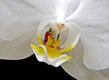 Marienkäfer auf weißer Orchidee Lizenzfreie Stockfotos