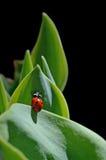 Marienkäfer, der auf Blättern im schwarzen Hintergrund klettert Lizenzfreies Stockfoto