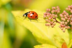 Marienkäfer, der auf einen kleinen Blumenbusch kriecht Stockbild