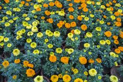 Marigod flowerbed. Marigold flowers of different colors forming flowerbed in the garden stock photos