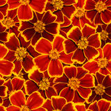 Marigold άνευ ραφής σχέδιο Στοκ φωτογραφία με δικαίωμα ελεύθερης χρήσης