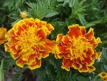 Marigold άνθισης κίτρινο και πορτοκαλί χρώμα στον κήπο λουλουδιών Στοκ Φωτογραφίες