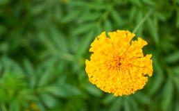 Marigold άνθος λουλουδιών στον κήπο Στοκ Φωτογραφία