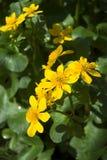 marigold έλος στοκ εικόνες με δικαίωμα ελεύθερης χρήσης