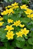 Marigold έλους λουλούδια Στοκ φωτογραφία με δικαίωμα ελεύθερης χρήσης