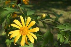 Marigold δέντρων άνθιση στον κήπο Στοκ Φωτογραφία