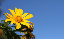 Marigold δέντρων, μεξικάνικο tournesol, μεξικάνικος ηλίανθος, ιαπωνικό SU Στοκ Εικόνες