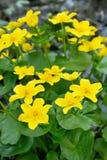 Marigold έλους λουλούδια Στοκ Φωτογραφίες