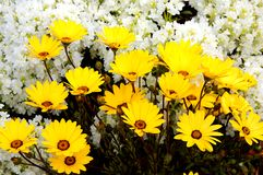 marigold ακρωτηρίων χειμώνας Στοκ Φωτογραφίες