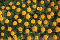 marigold ανασκόπησης Στοκ φωτογραφία με δικαίωμα ελεύθερης χρήσης