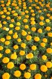 marigold ανασκόπησης Στοκ εικόνες με δικαίωμα ελεύθερης χρήσης