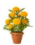 Marigold ανθών Στοκ φωτογραφία με δικαίωμα ελεύθερης χρήσης