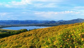 marigold δέντρων  Μεξικάνικος ηλίανθος στοκ φωτογραφίες