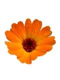 marigold δοχείο Στοκ εικόνα με δικαίωμα ελεύθερης χρήσης