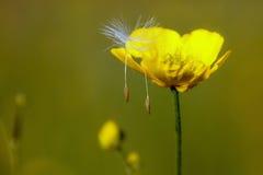 Marigold λιβαδιών Στοκ Εικόνα