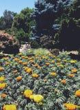 marigold κήπος λουλουδιών Στοκ Εικόνα