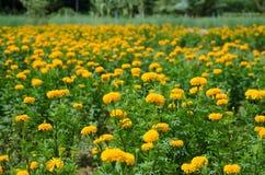 Marigold κήπος Στοκ Φωτογραφία