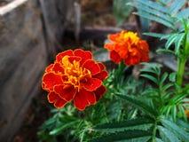 marigold κήπων στοκ φωτογραφίες