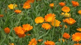 Marigold κίνηση ανθίσεων χορταριών λουλουδιών στον αέρα στην αγροτική φυτεία κήπων 4K απόθεμα βίντεο