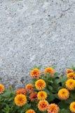 Marigold κίτρινη ανασκόπηση Στοκ Εικόνα