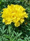 Marigold κίτρινο λουλούδι στην πράσινη χλόη στοκ εικόνες με δικαίωμα ελεύθερης χρήσης