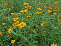 Marigold κίτρινο λουλούδι Στοκ εικόνα με δικαίωμα ελεύθερης χρήσης