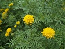 Marigold κίτρινο λουλούδι Στοκ Εικόνες