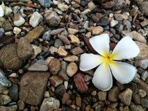 Marigold κίτρινο λουλούδι Στοκ φωτογραφίες με δικαίωμα ελεύθερης χρήσης