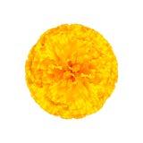 Marigold κίτρινο που απομονώνει στο άσπρο υπόβαθρο Στοκ φωτογραφία με δικαίωμα ελεύθερης χρήσης